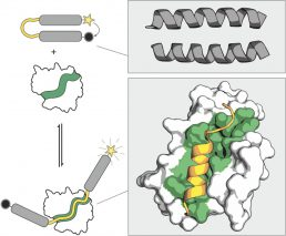 coiled-coil peptide beacon