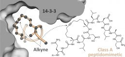 Constraining an irregular peptide secondary structure via ring-closing alkyne metathesis